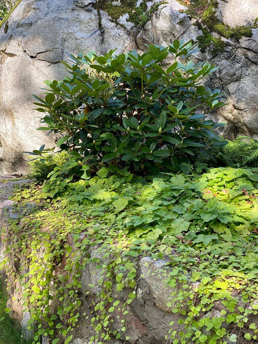 trädgårdsarkitekt wägerths trädgårdsdesign naturstensmur rhododendron tiarella plantering