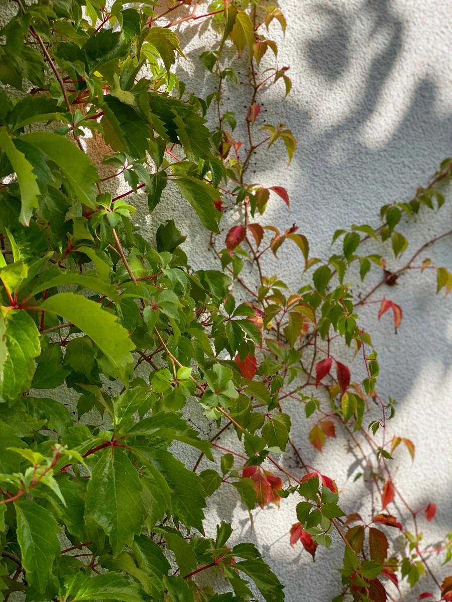 Wägerths trädgårdsdesign trädgårdsarkitekt design trädgård modernt hus klättervildvin klätterväxt vildvin