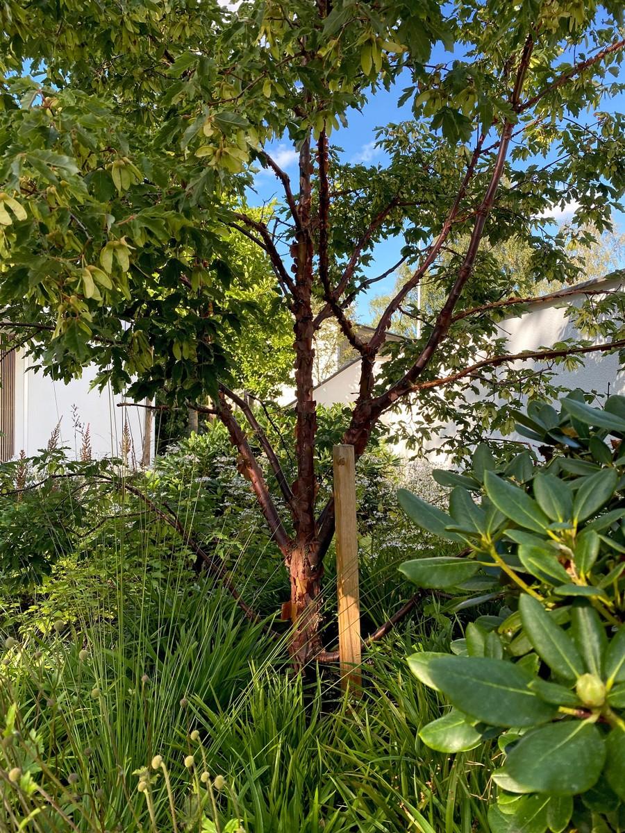 Wägerths trädgårdsdesign trädgårdsarkitekt design trädgård modernt hus naturlig plantering anemone white swan rhododendron prydnadsgräs kopparlönn